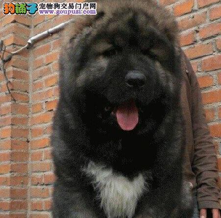 专业繁殖纯种高加索幼犬/包品质保健康、