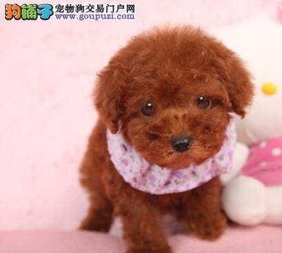 出售纯种健康多种颜色的泰迪犬 上海的朋友随时上门选