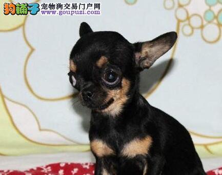 上海自家繁殖的吉娃娃幼犬找新家 价格优异健康保证