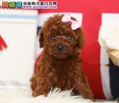 活泼可爱颜色齐全的上海贵宾犬热销中 保活保健康