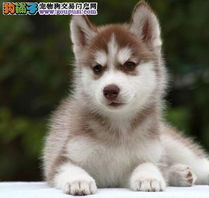 出售三把火双蓝眼上海哈士奇 所有犬只均保证纯正健康