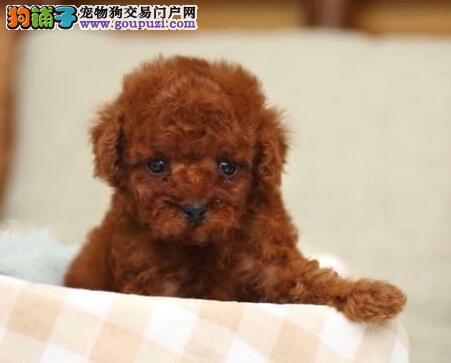 广州贵宾犬出售 纯种随时微信看狗 上门取狗