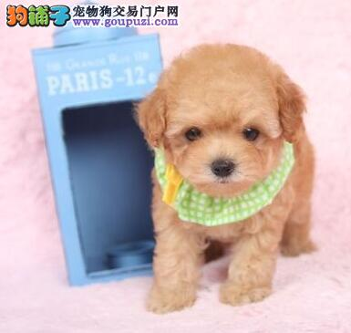 武汉出售颜色齐全身体健康泰迪犬外地可空运已驱虫