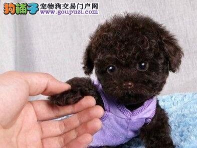 喀什养殖场直销完美品相的泰迪犬欢迎实地挑选