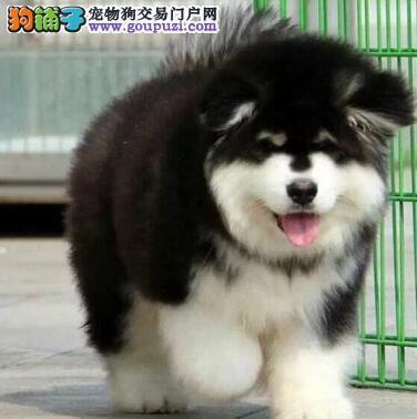 上海正规犬舍直销十字脸阿拉斯加犬 欢迎各界人士光临