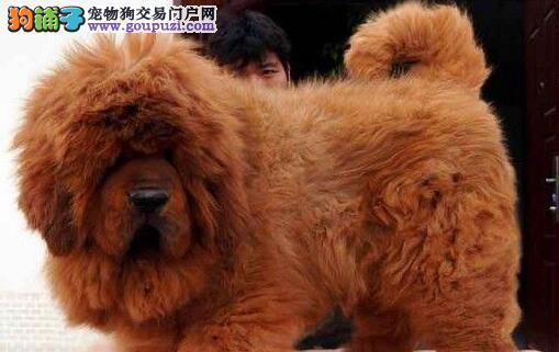 獒园特价优惠出售一批上海藏獒幼崽 感兴趣可上门参观