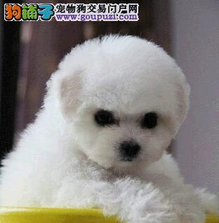 甜美脸型十分可爱的比熊犬低价热销中 合肥市内可送货