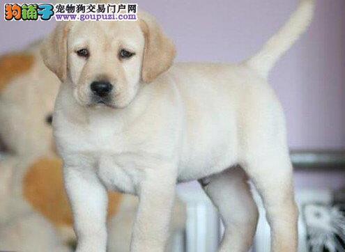 齐齐哈尔犬舍出售拉布拉多犬性格温顺品相好