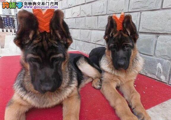 合肥知名犬舍直销锤系血统德国牧羊犬 黑背大头弓腰