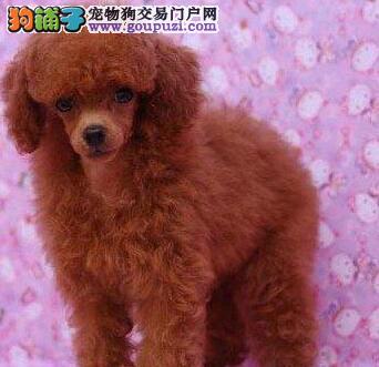 河南郑州出售家养超小玩具贵宾