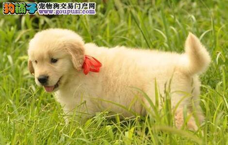 出售疫苗驱虫齐全的广州金毛犬 品相好品质佳签协议