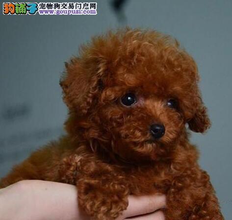 超小体玩具茶杯品相的泰迪犬找新家 乌鲁木齐市内送货