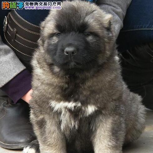 呼和浩特正规繁殖低价出售高加索犬 可狗到付款