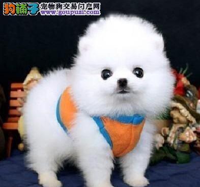 哈多利球形品相的乌鲁木齐博美犬出售中 免费售后服务
