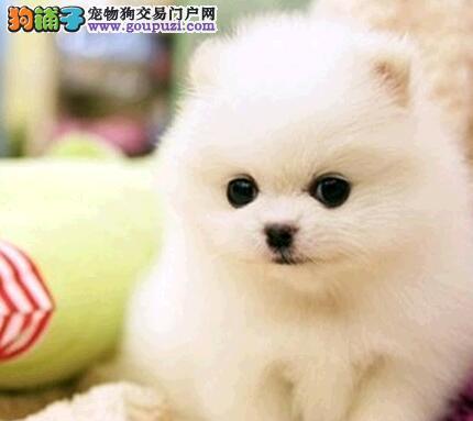 出售博美犬专业缔造完美品质微信看狗可见父母