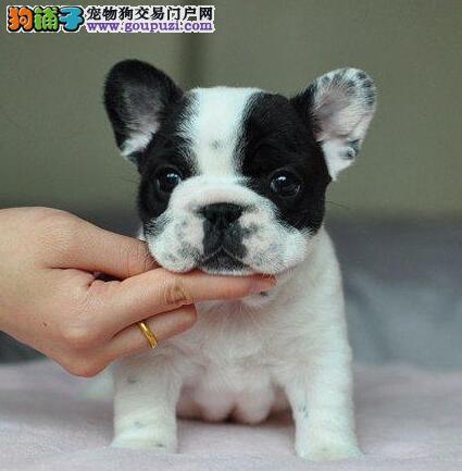 出售南宁法国斗牛犬健康养殖疫苗齐全期待您的光临