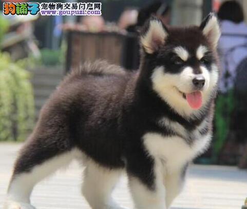CKU认证犬舍出售高品质阿拉斯加犬优质服务终身售后