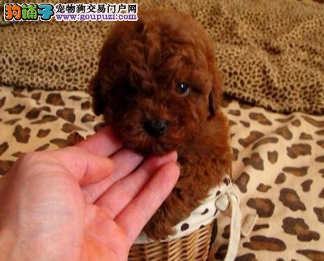 CKU犬舍认证出售高品质泰迪犬终身完善售后服务