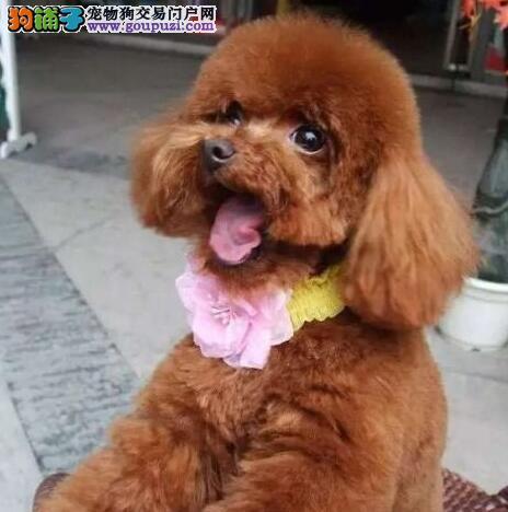 完美体形可爱至极的常州贵宾犬找新家 求爱狗人士收养