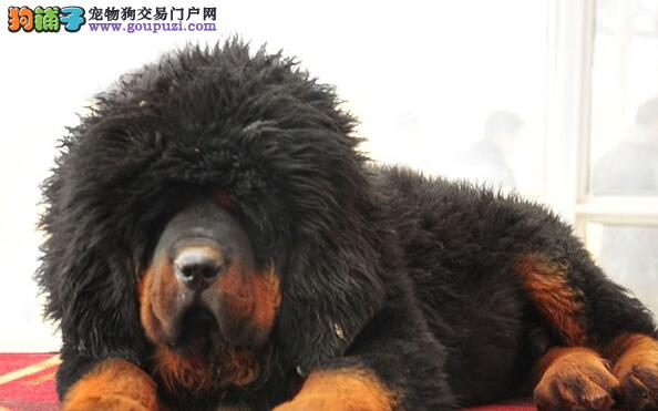 纯种大狮头长毛藏獒 霸气十足 郑州五折销售 签订协议