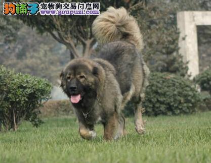 郑州狗场直销高品质高加索犬带血统证书包售后