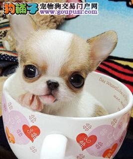 顶级可爱吉娃娃郑州犬舍直销 保证品质 让顾客买的放心