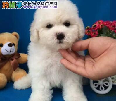 转让大眼睛无泪痕棉花糖版的太原比熊幼犬 可签协议