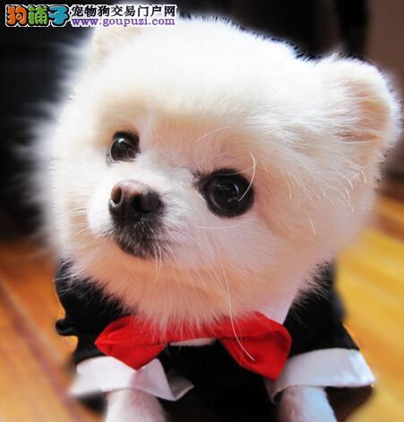 实物拍摄的重庆博美犬找新主人期待您的来电咨询