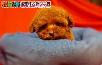 茶杯玩具迷你小体的上海泰迪犬找爸爸妈妈可爱至极