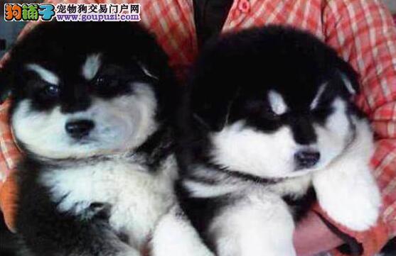 杭州出售纯种阿拉斯加犬优惠出售 包成活