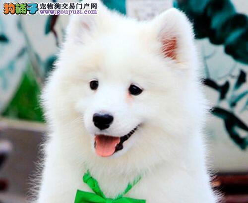 白魔法血系纯种三亚萨摩耶幼犬待售中 高品质冠军血统