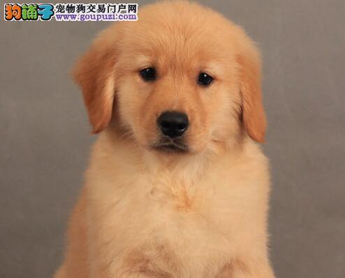 太原正规养殖场出售大头金色金毛幼犬 保证健康质保