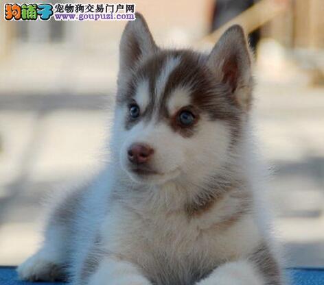三火双蓝眼纯种太原哈士奇幼犬低价出售 带健康证书