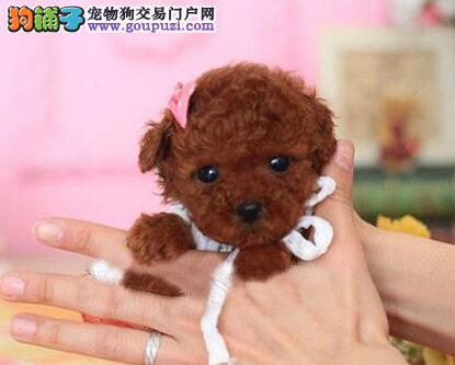 茶杯型、玩具型的泰迪犬找爸爸妈妈 沈阳地区可送货