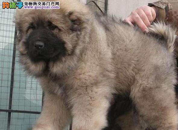 吐鲁番知名犬舍出售犬业出售巨型纯种高加索犬 签协议