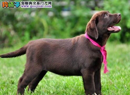 身体健硕的大庆拉布拉多犬找新家 我们承诺售后三包