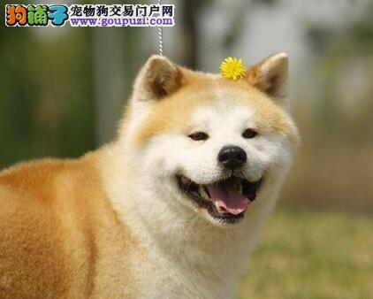 颜色全品相佳的秋田犬纯种宝宝热卖中国外引进假一赔百