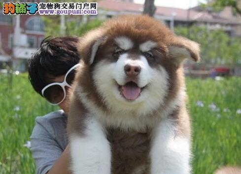 繁殖基地出售多种颜色的阿拉斯加犬可签合同刷卡