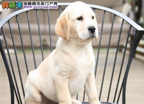 高端拉布拉多幼犬、金牌店铺品质保障、等您接它回家