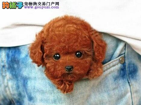 顶级韩系纯种泰迪犬幼犬低价出售 欢迎来贵阳购买