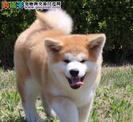 特价转让纯种日系秋田犬 青岛地区有实体店有问题可换