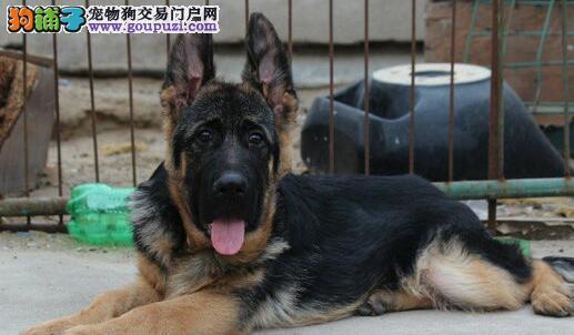 青岛本地狗场出售极品德国牧羊犬 身体健康有保证