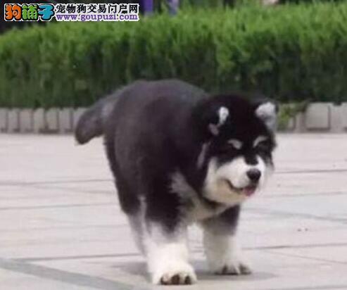 贵阳狗场促销阿拉斯加雪橇犬证书齐全签合同