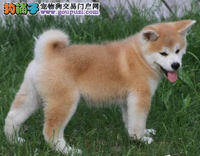 实体店低价促销赛级秋田犬幼犬CKU认证品质绝对保障