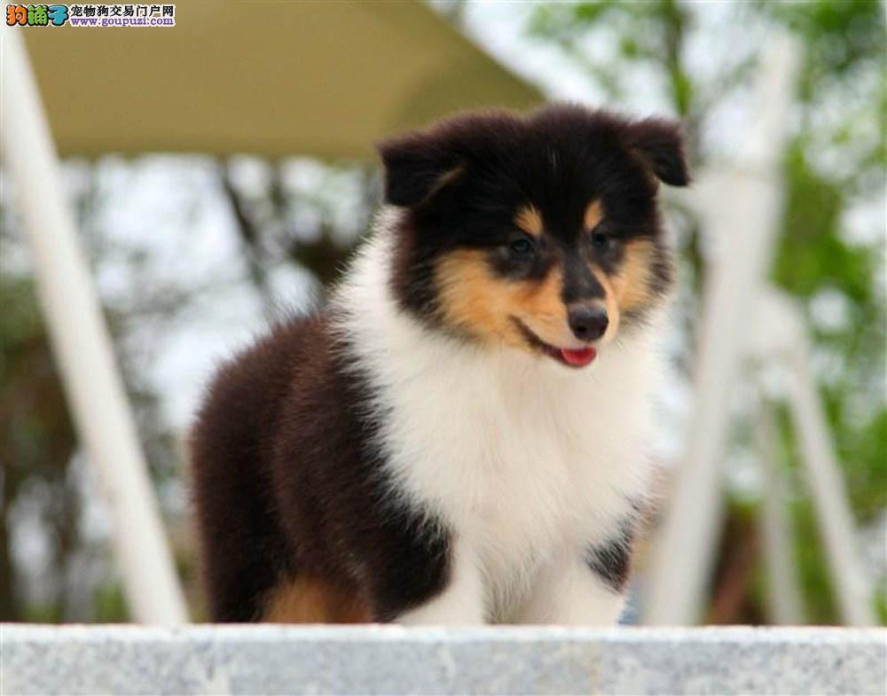 深圳哪里有卖纯种喜乐蒂犬