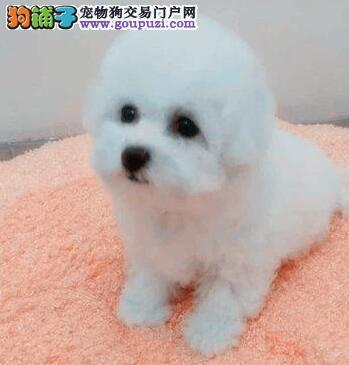 武汉实体狗场出售卷毛比熊犬 可以随时微信视频看狗