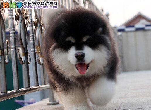 巨型阿拉斯加犬 震撼登场 血统阿拉斯加幼犬出售