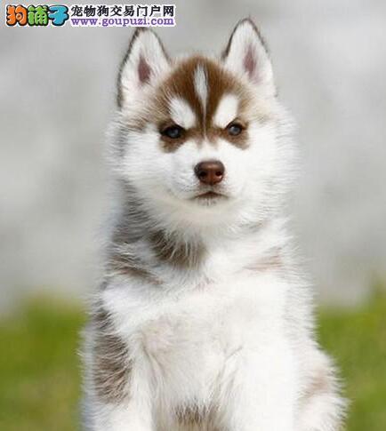 东莞正规狗场出售双血统赛级品质的哈士奇幼犬 签协议