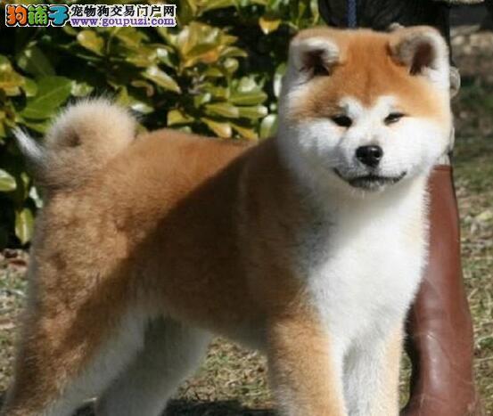 出售正宗血统优秀的衡阳秋田犬下单有礼全国包邮