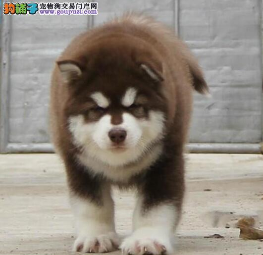 齐齐哈尔自家繁殖的纯种阿拉斯加犬找主人签协议上门选
